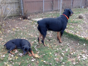 Kalamazoo Dog Walkers, Kalamazoo Pet Sitting, Dog Waste Removal Kalamazoo